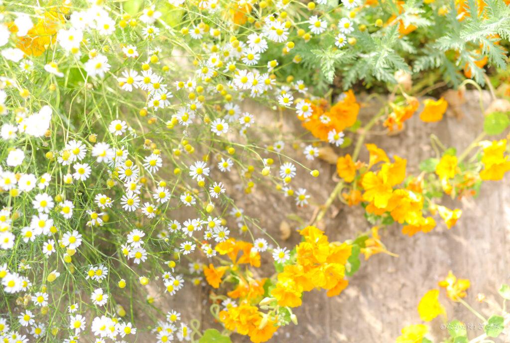 白とオレンジのお花の写真