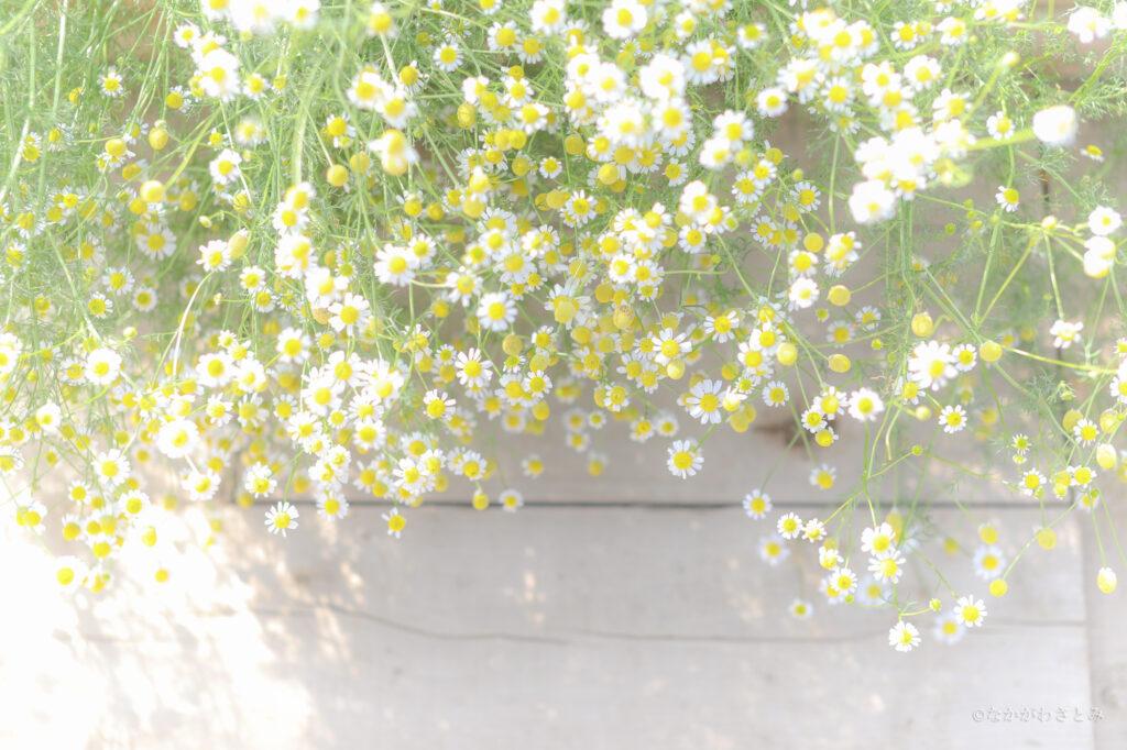 カモミールのお花の写真